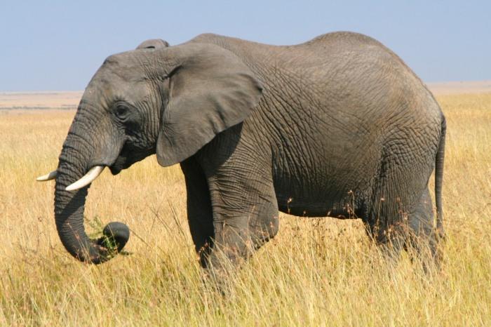 african-elephant-06