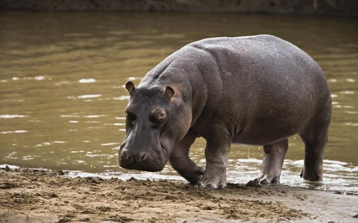 hippopotamus-113