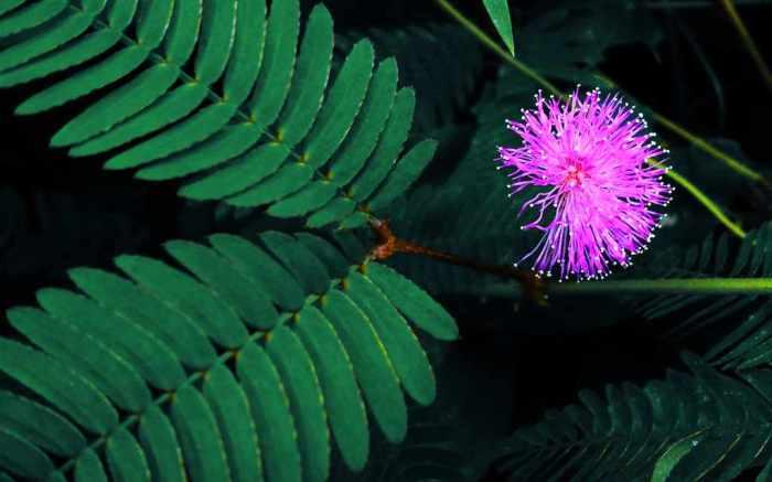 makahiya_a_k_a_shy__mimosa_pudica__by_tingkoy-d6hx01h
